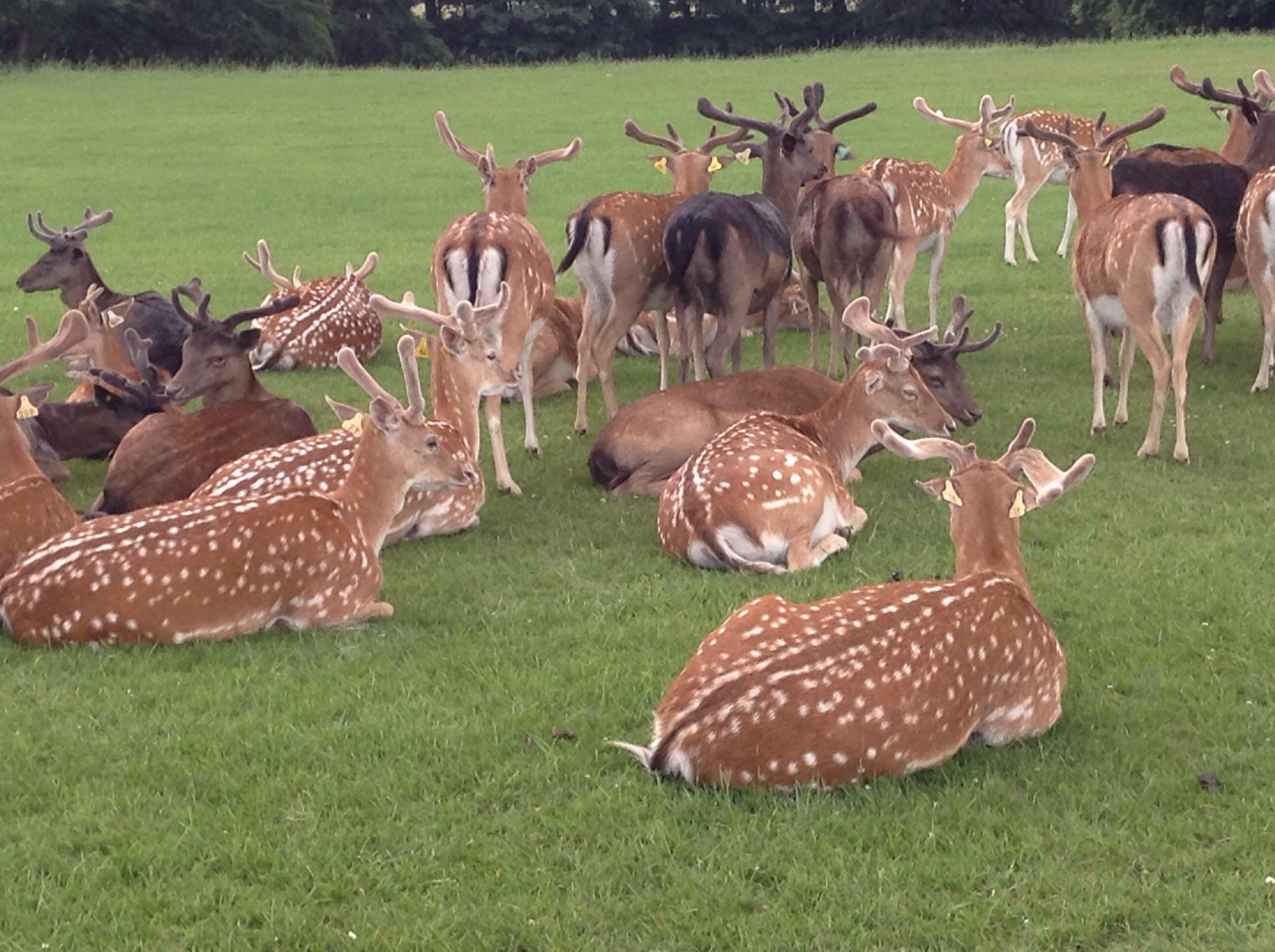 Deers at Phoenix Park